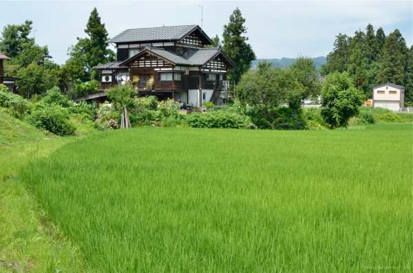 Verdant rice field