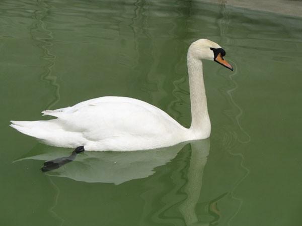 As elegant as Swan