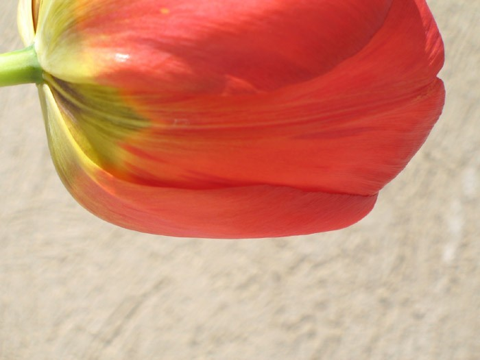 I do not know why am I badly in love with Tulips !