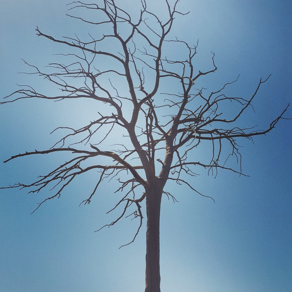 lonely tree leafless