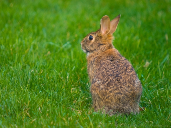Signs of Spring - Cottontail Rabbit