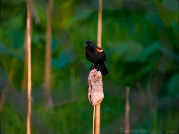 Red Winged Blackbird