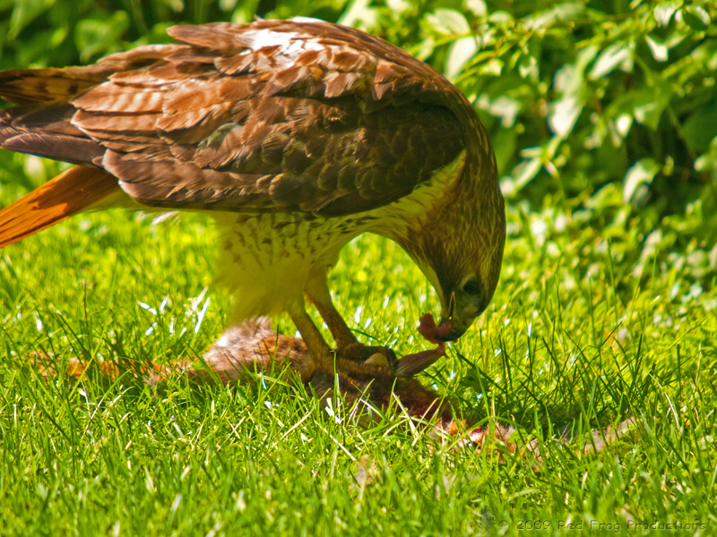 Red-tailed Hawk (4)