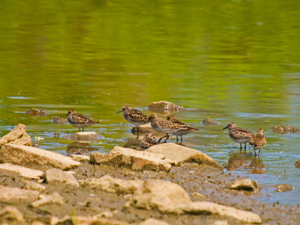 More Spotted Sandpipers