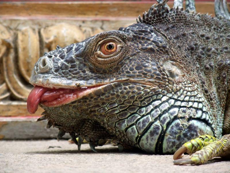 Temple iguana lizard