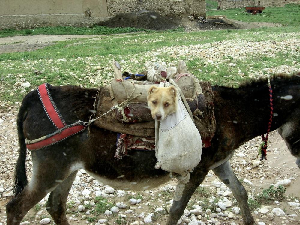 Dog breeder delivering puppy in Afghanistan