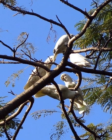 5 Cockatoos