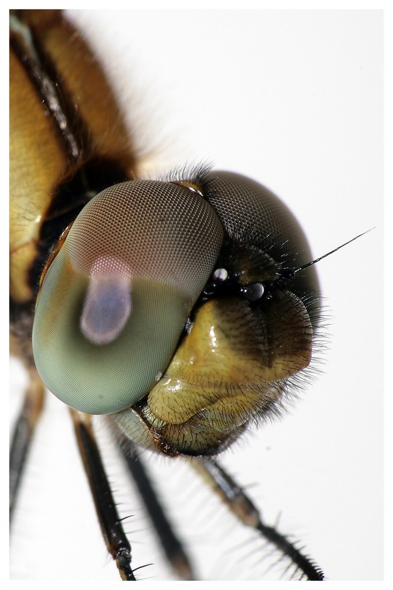 Macro of a Dragonfly