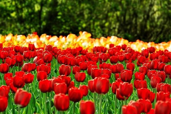 Tulip Festival 01