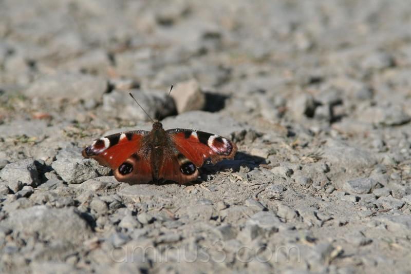 Butterfly, My butterfly....