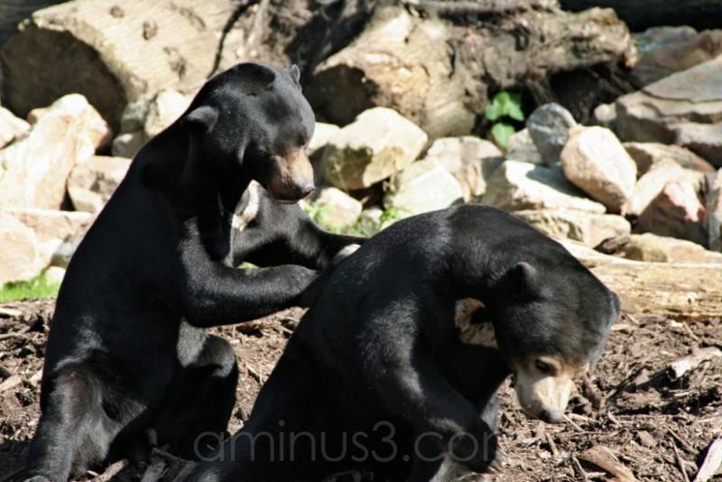 Bears in love 2