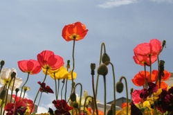 poppies in the botanical garden