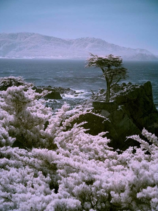 The lonely cypress