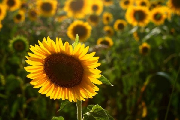 Finally Sunflowers