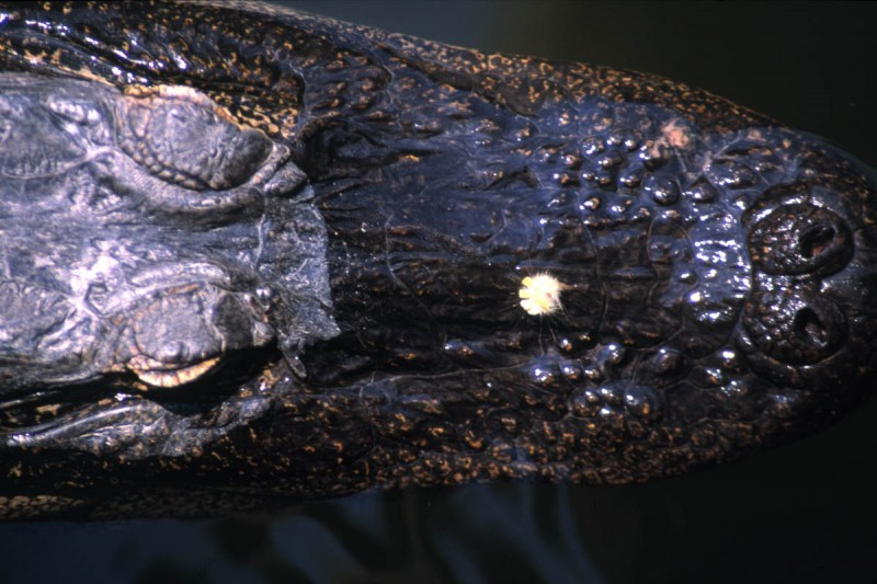 close-up of the snout of an alligator