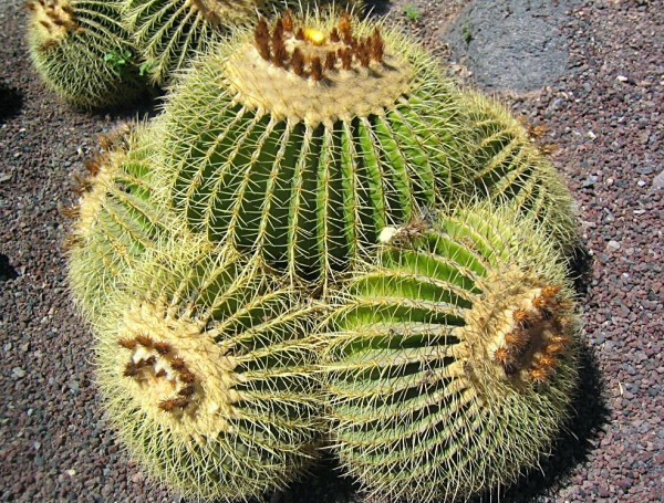Kaktus2