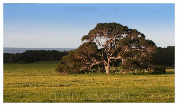 australian tree