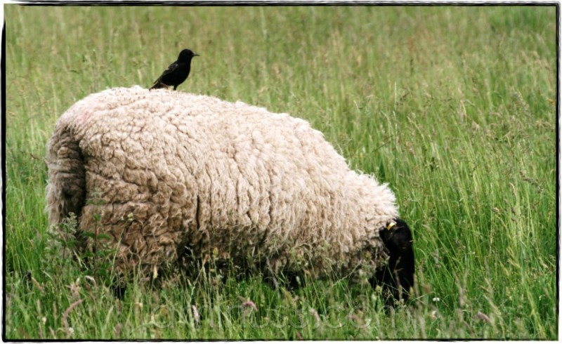 sheep bird