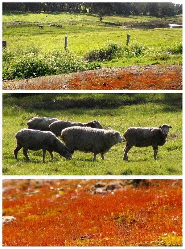 lamb collage