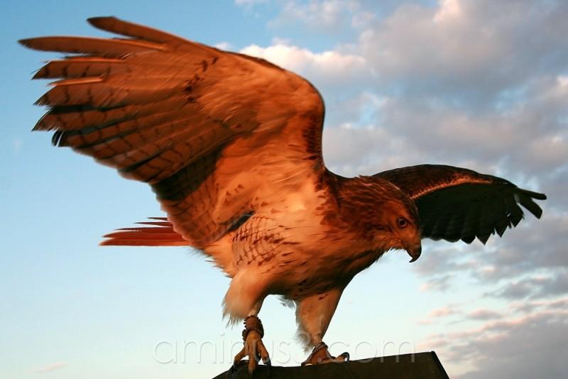 side hawk