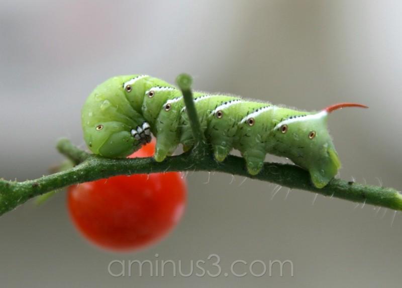 green bug red tomatoe