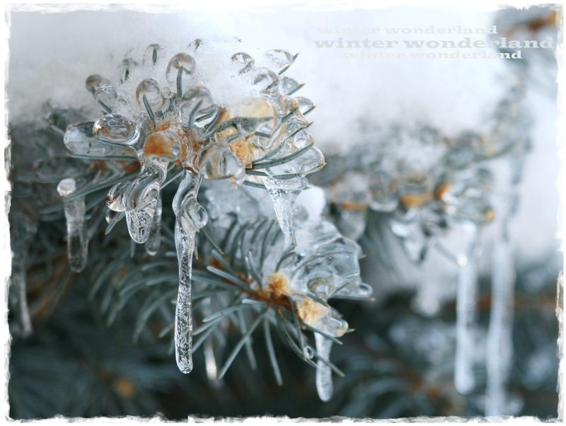 frozen evergreens