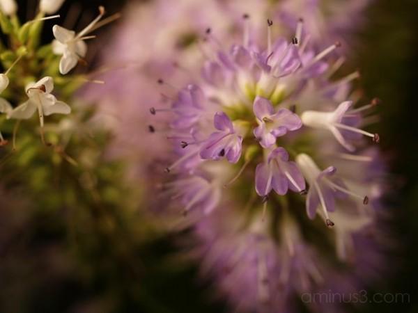 plant, lilac