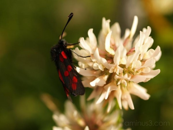 insect, shamrock,