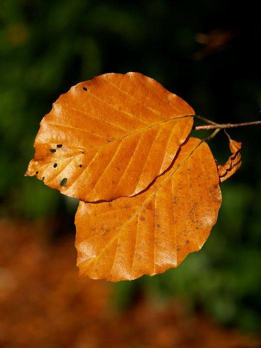 leaf, leaves, bronze, golden, fall, autumn, colors