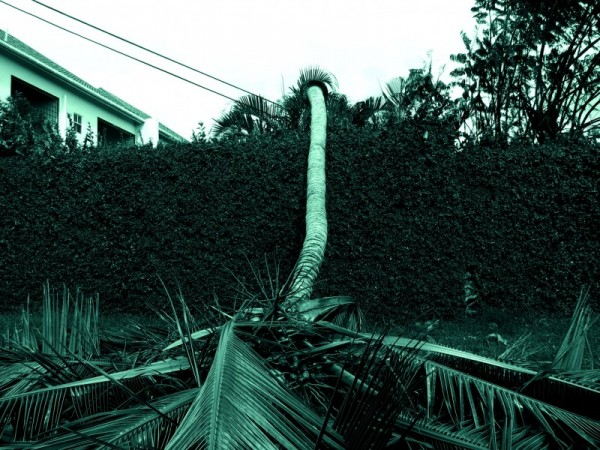 felled palm tree
