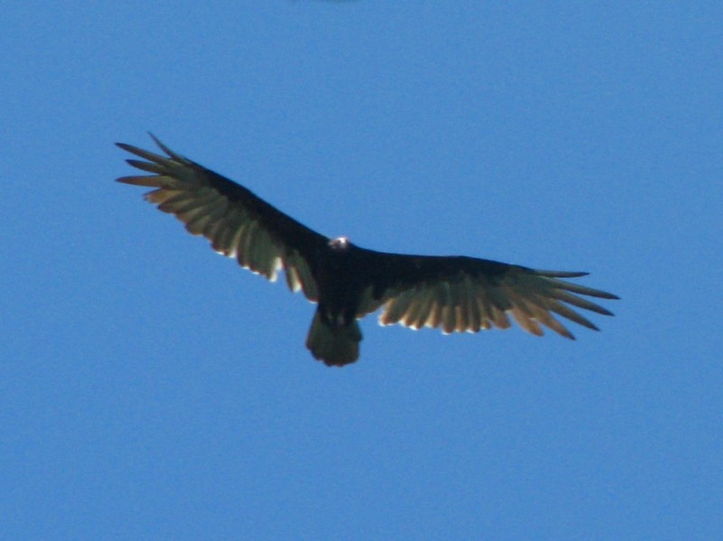 bird crow flying soaring