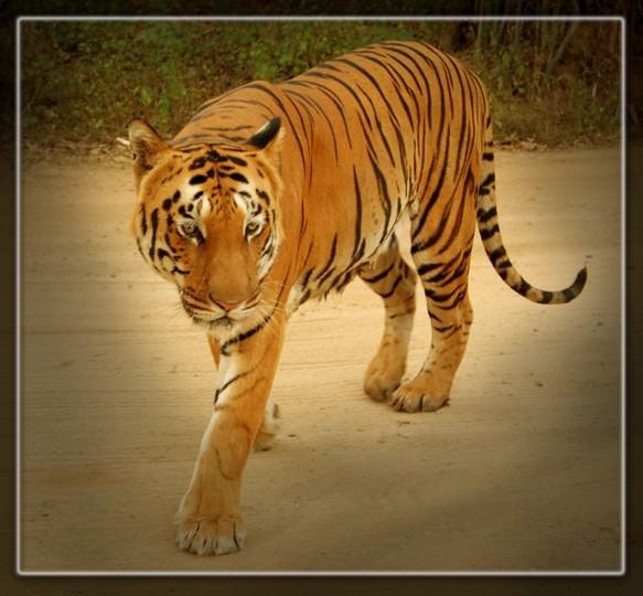bannerghatta tiger