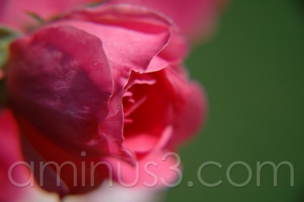 close up of a rose
