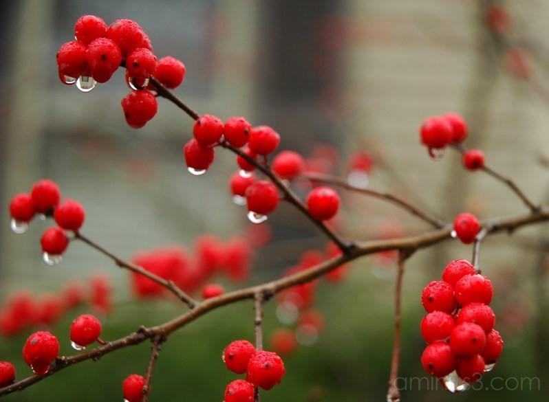 red berries rain drops massachusetts usa