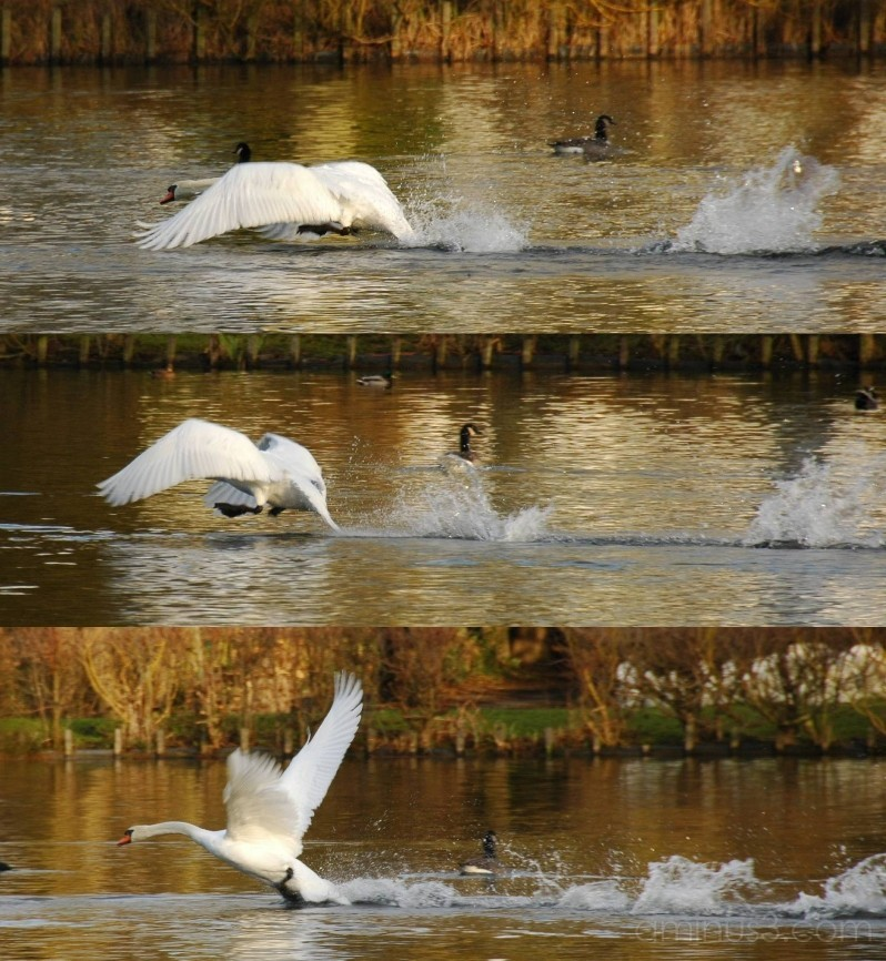 Swan lifting off