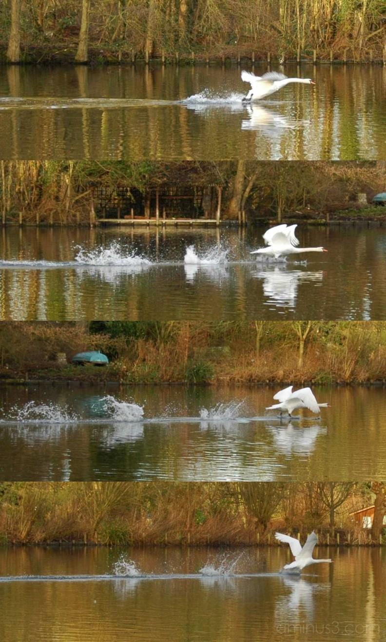 Swan landing on water