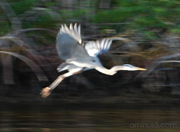 Blurred Heron, The Everglades Florida