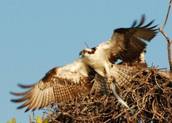 Osprey and Fresh-Caught Fish, The Everglades