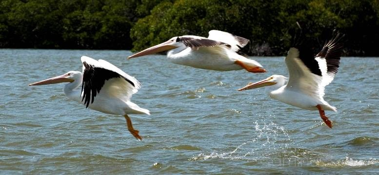 White Pelicans in Flight, Florida, USA