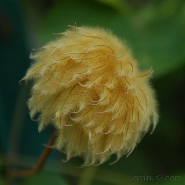 Clematis seed-head: Cambridge Massachusetts USA