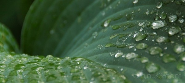 Hosta after the rain