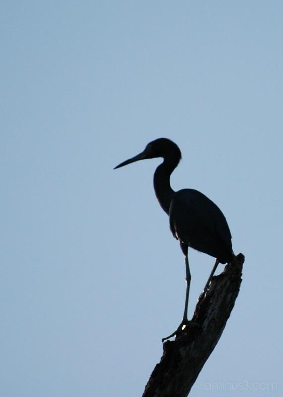 water bird, everglades, florida