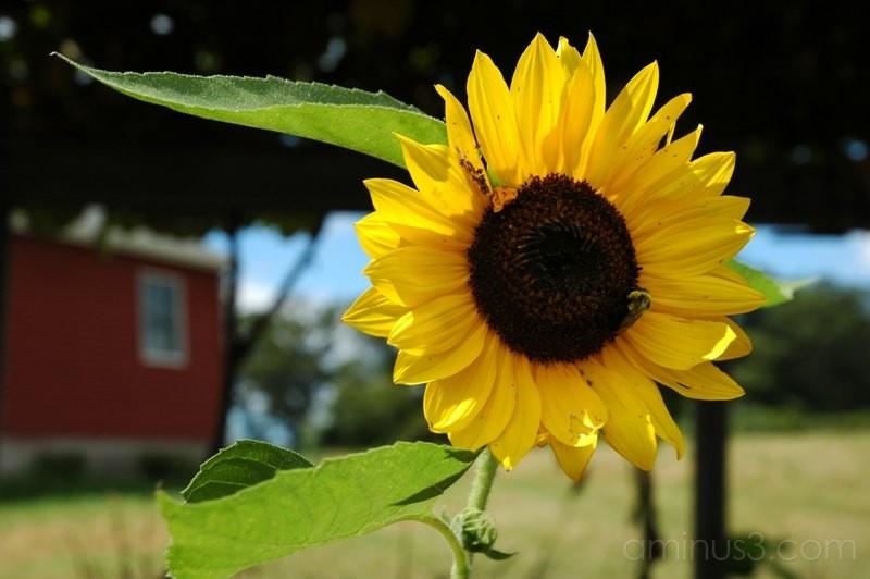 sunflower and barn farm scene