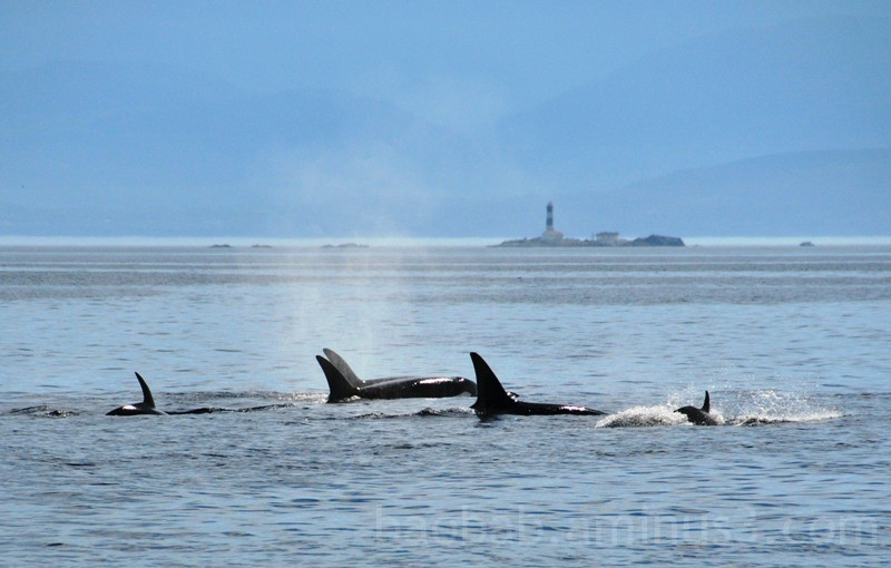 Transient Orcas play at Race Rocks
