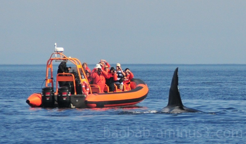 Orca and Zodiac, Strait of Juan de Fuca