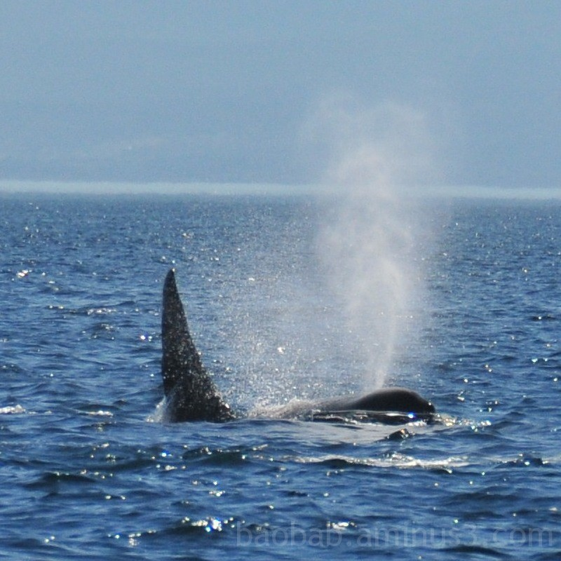 Orca Breath, Strait of Juan de Fuca