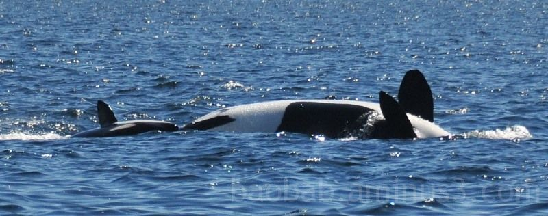 Orca Belly Up, Strait of Juan de Fuca