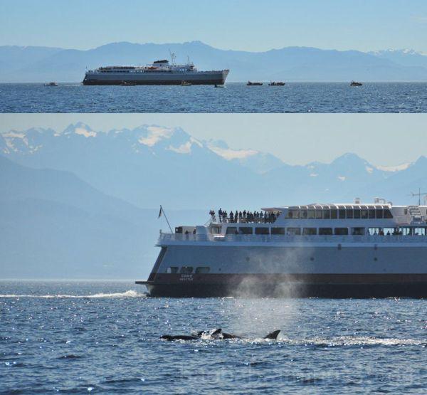 Orcas Meet Coho, Strait of Juan de Fuca