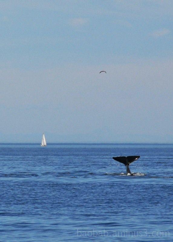 Whale Tail Sail Boat Sea Bird