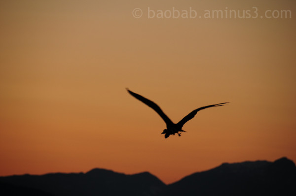 Great Blue Heron at Sunset Jericho Beach